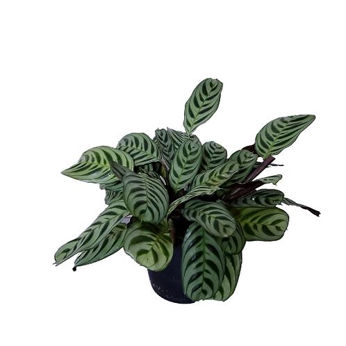 Calathea Ctenanthe Burle Marxii, 6 inch Pot