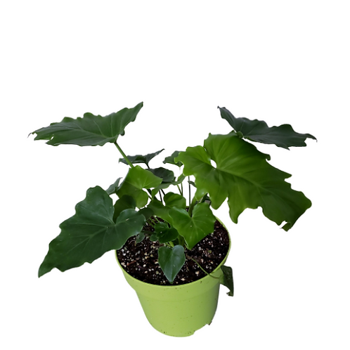 Philodendron Shangrila 8 inch