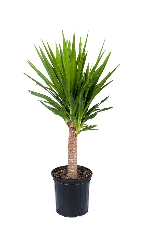 12 inch Yucca Cane