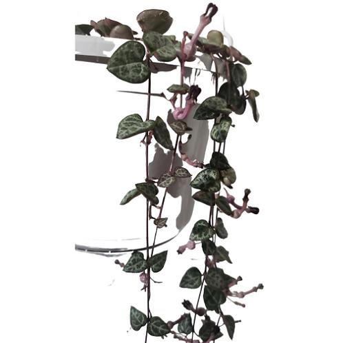 String of Hearts 6 inch Hanging Basket