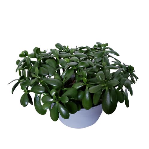 Jade 10 inch Shallow Bowl