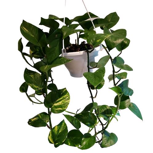 Pothos Hanging Basket 6 inch
