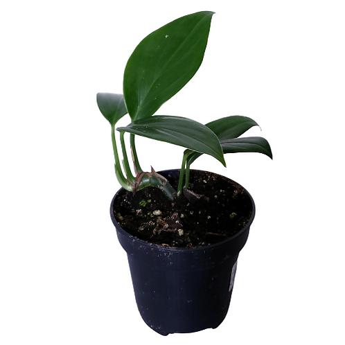 Dragon's Tail (Epipremnum Pinnatum) 4 inch pot