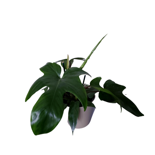 Philodendron Rudolph, 6 inch pot