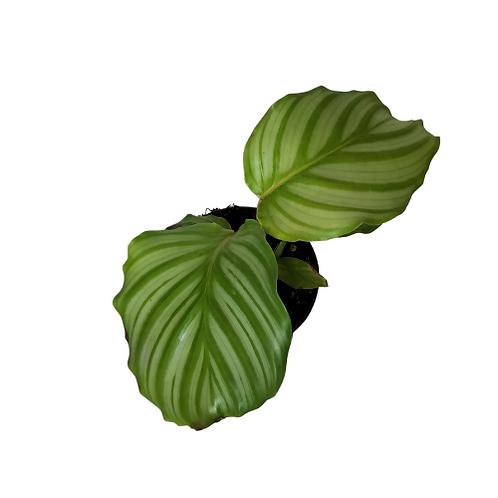 Calathea Orbifolia 4 inch Pot