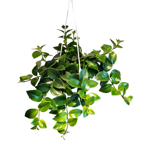 Lipstick Plant Hanging Basket (flowers red) 6 inch pot