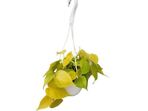 Lemon Lime Philodendron 6 inch Hanging Basket
