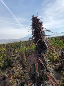 Pre Harvest Inspection