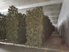 Smokable Hemp Flower Drying Facility