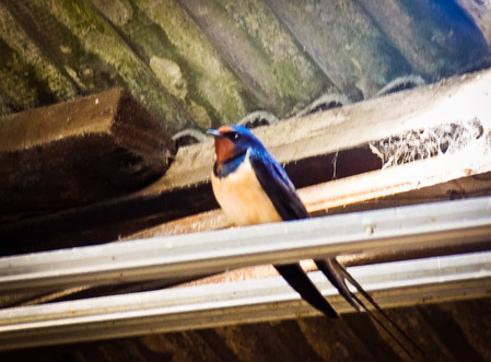 A Swallow perched in the Production Office...