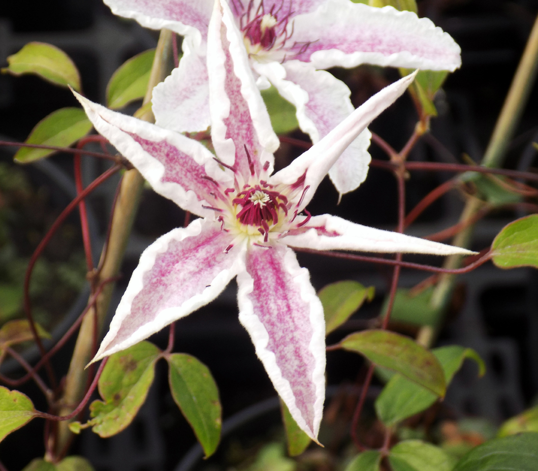 Clematis Starlight(used)