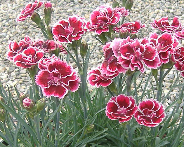 carnation bicolor