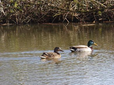 2 Ducks on GCP pond.jpg