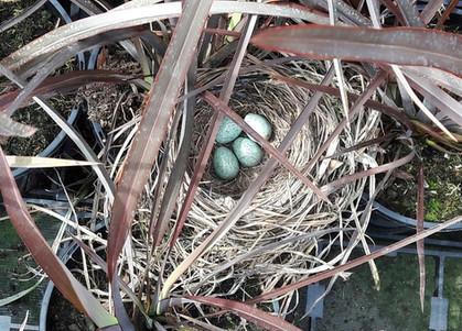 Blackbird nest in amongst the Phormiums