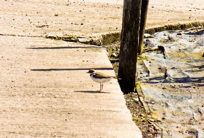 Pied Wagtail out on the nursery
