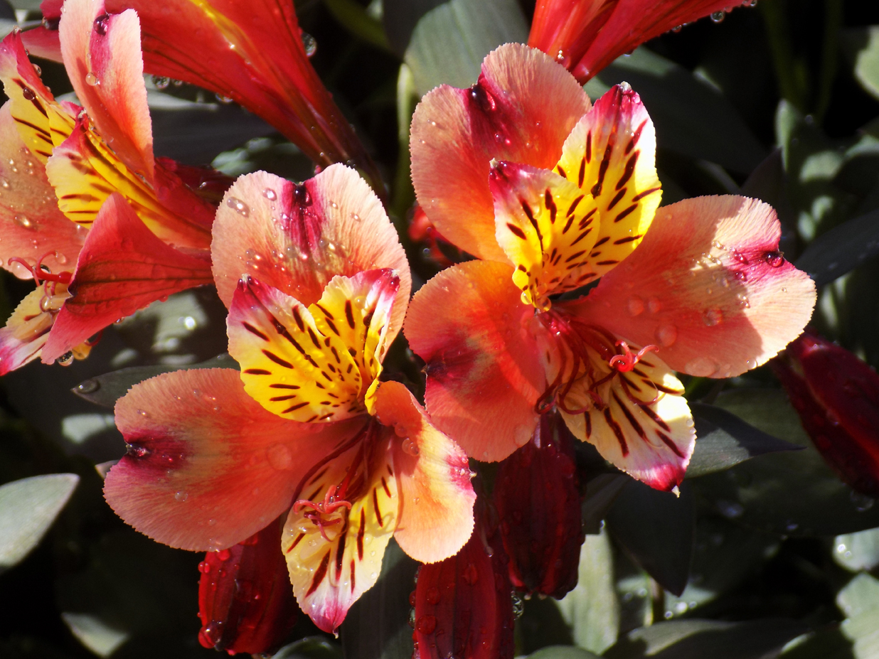 Alstroemeria Indian Summer(1)(used)