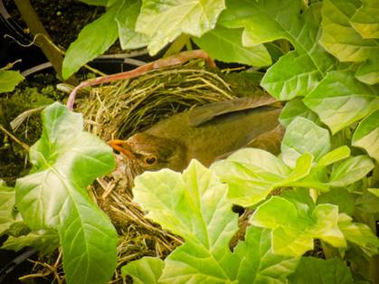 A Blackbird nesting...