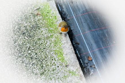 A robin outside glasshouse 3