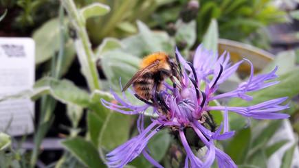 A bumblebee enjoying the Centaurea...