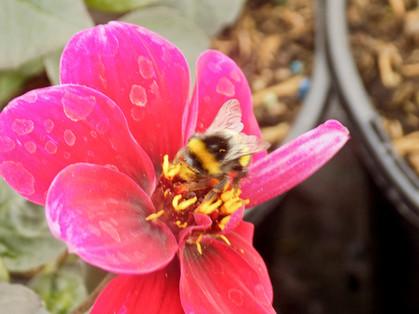 Honeybees enjoying the Dahlias