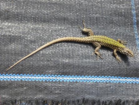 Wall Lizard.jpg