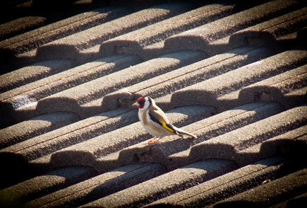 A Goldfinch surveying the scene from the roof of the office
