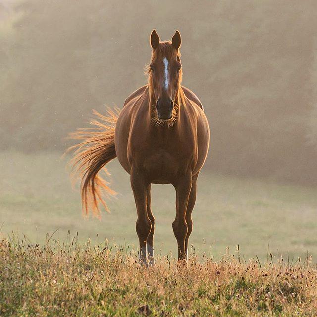 #horse #horseportrait #field #firgrove #horses #sunsethorse #riding #fide #sunsetride #horseriding #