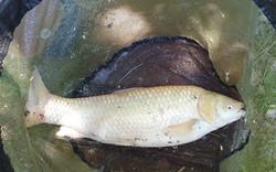 Albino Grass Carp - 6lb 12oz