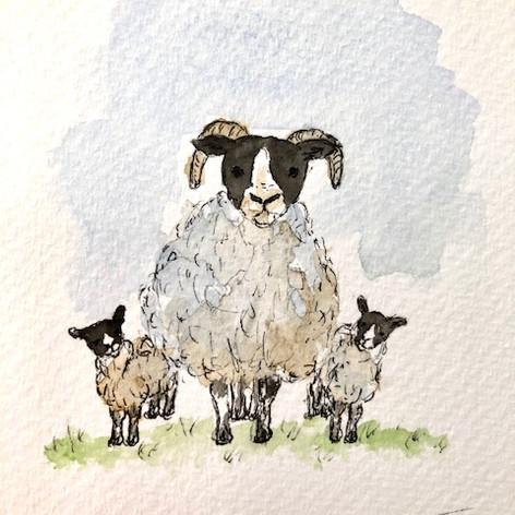 12.Scottish Blackface Sheep and Lambs