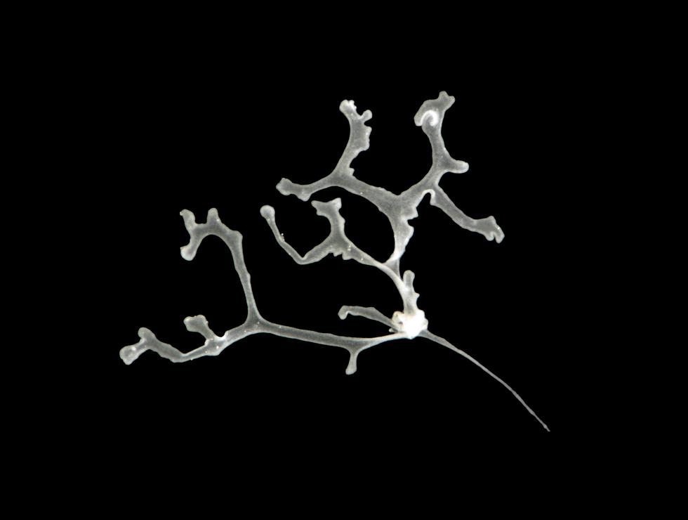 placozoa.png