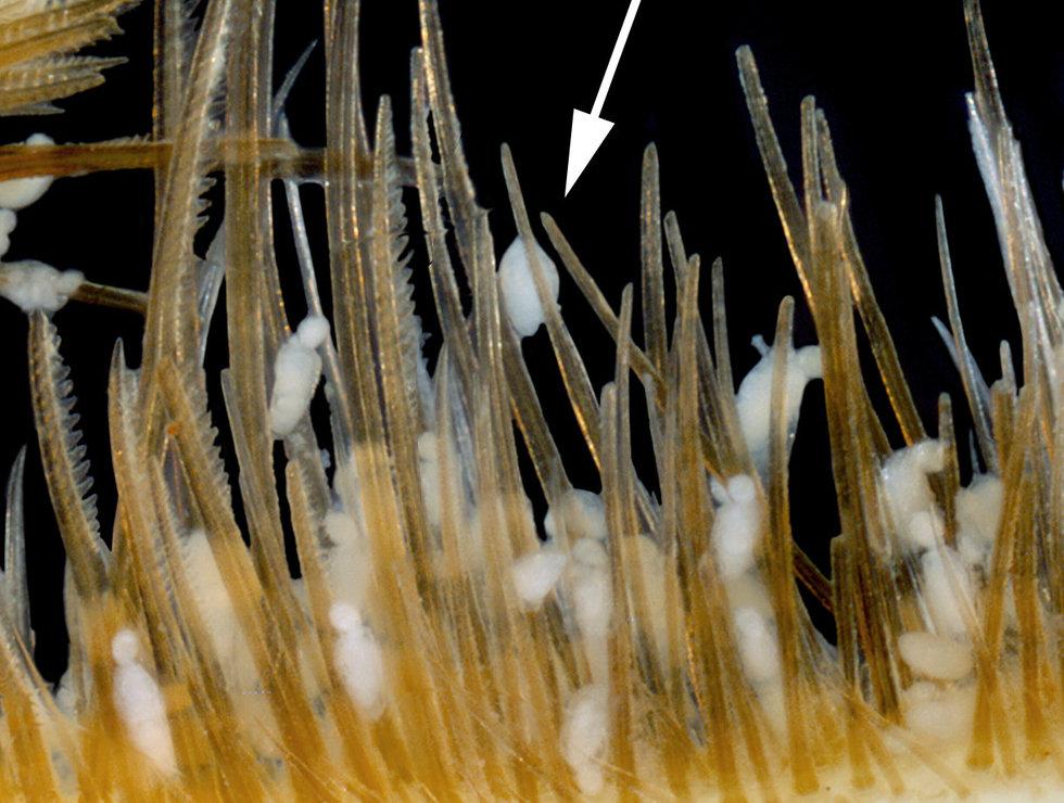 cycliophora2.jpg