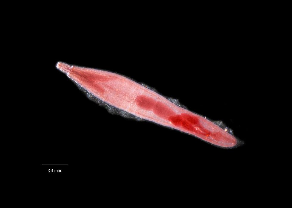 acanthocephala.jpg