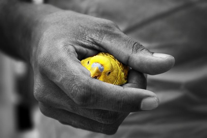 Flickr - Parakeet - Snapshoot