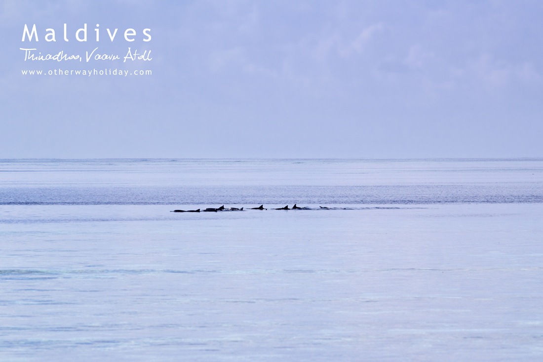 Plumeria, Thinadhoo, Vaavu Atoll, Maldives. Dolphins