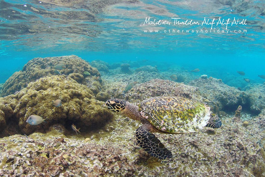 Thoddoo, Alif Alif atol, Maledivy