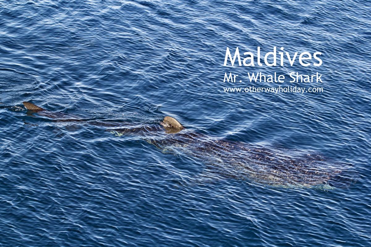 Mr. Whale Shark