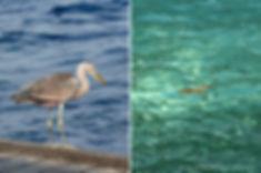 Royal Island, volavka šedá, Maakana, žralok, Maledivy
