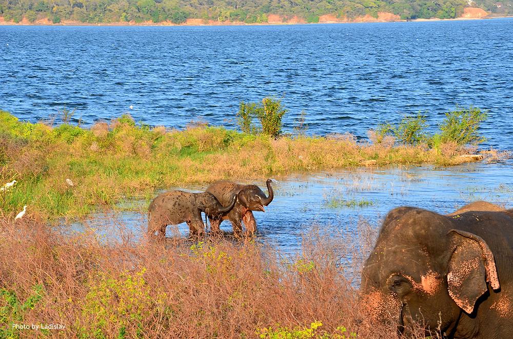 Sloni, Srí Lanka