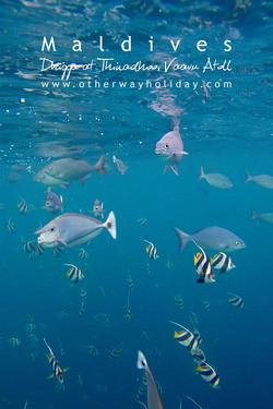 Schooling Bannerfish & Unicorn Fish