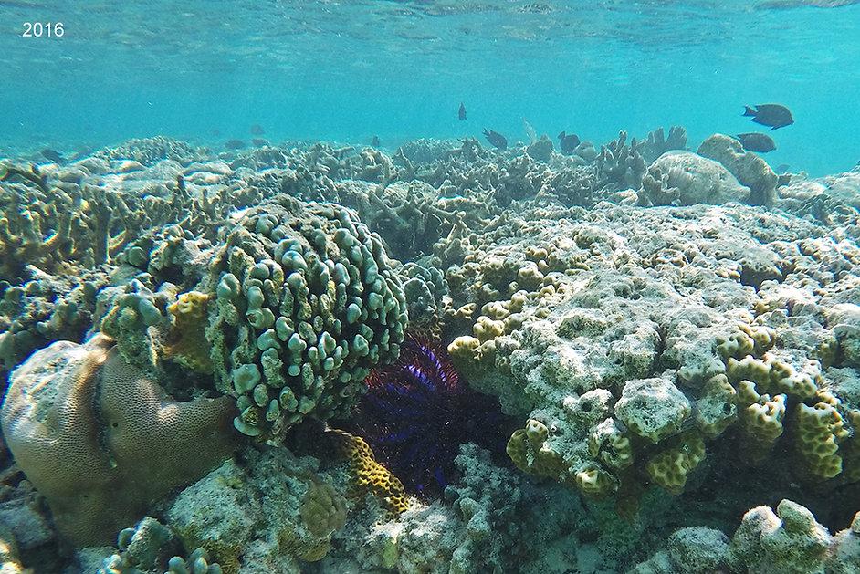 mořská hvědice, Trnová koruna, Maledivy