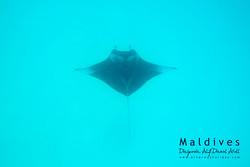 Manta, Dhigurah, Alif Dhaal, Malediv