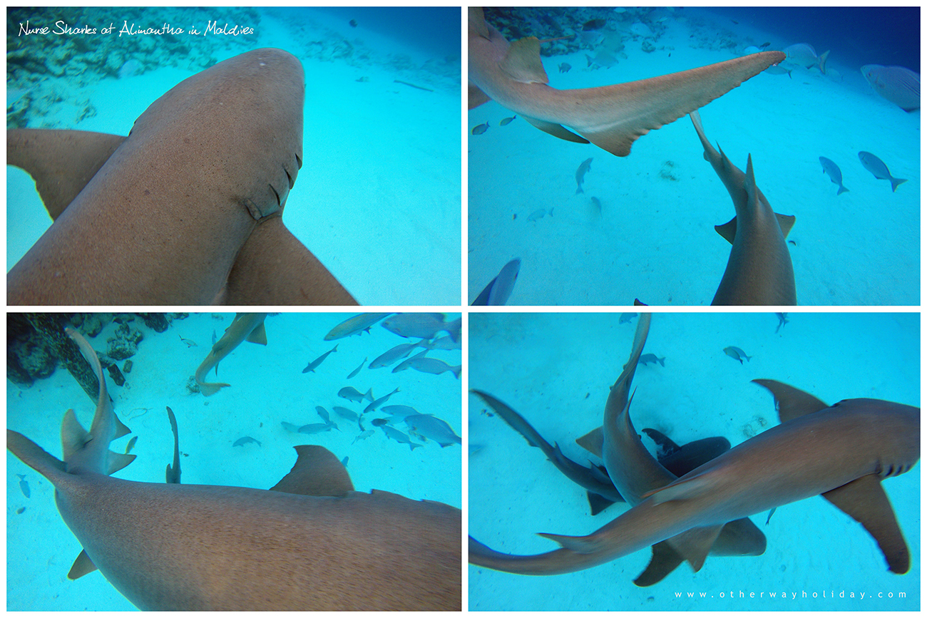Nurse Shark, Snorkeling, Diving, Alimanta, Vaavu Atoll, Maldives