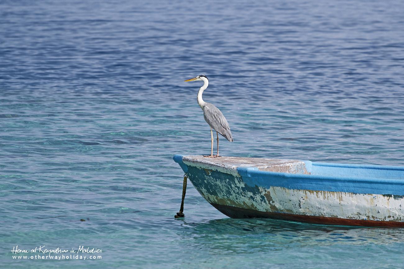 Ash Heron, Keyodhoo, Vaavu Atoll, Maldiv