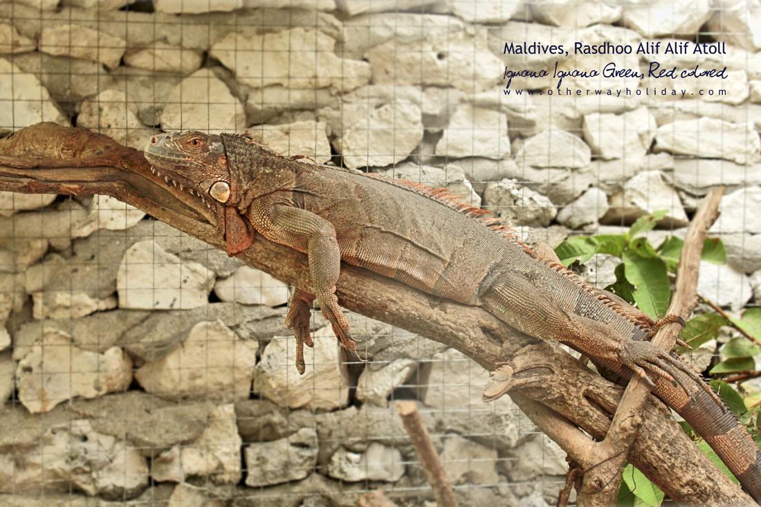 Rasdhoo, Alif Alif atol, Maledivy