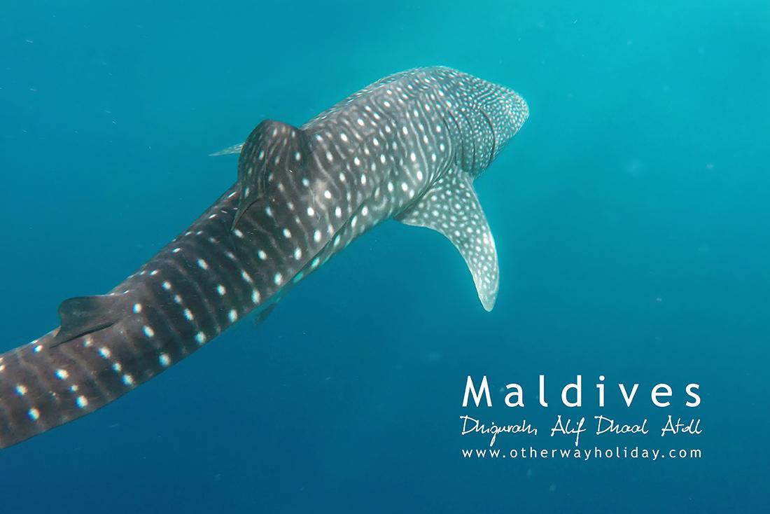 Whale Shark (5,5 m)