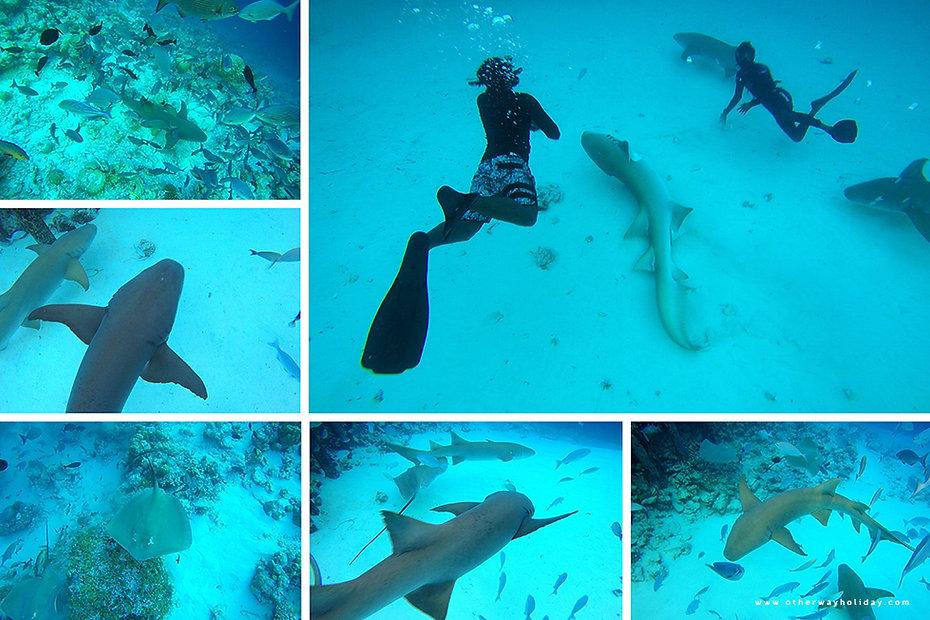 Šnorchlování se žraloky Nurse Sharks