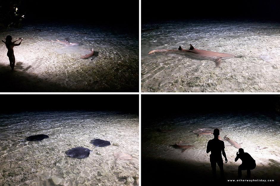 Krmení žraloků a rejnoků, Maledivy