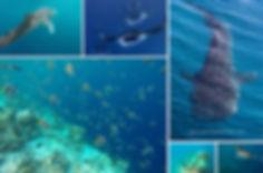 Šnorchlování a potápění na Maledivách v létě, Hanifaru Bay, manta, žralok obrovský