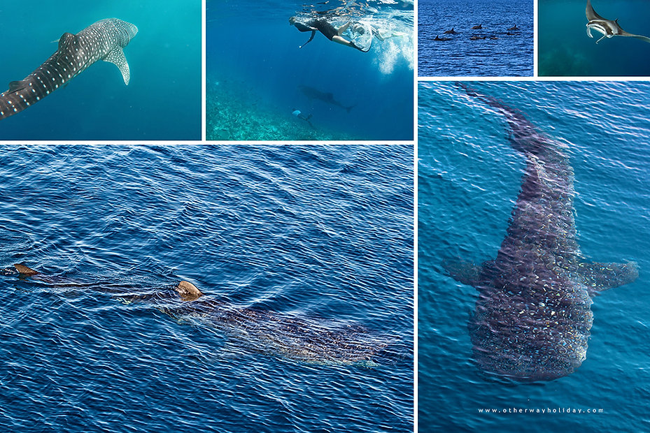 Žralok obrovský, Alif Dhaal atol, Maledivy