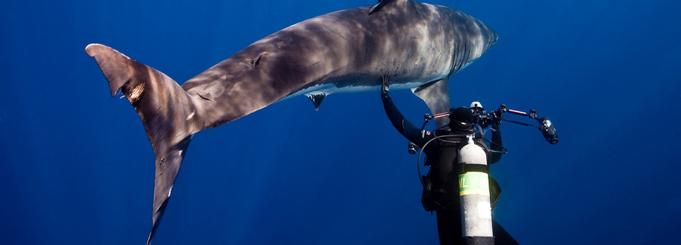 Petting a Great White Shark